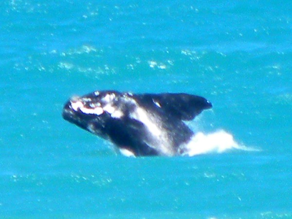 Wil je walvissen zien? Ga dan in Oktober of November