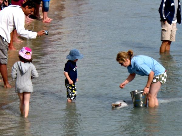 Dolfijnen komen naar het strand bij Monkey Mia om gevoerd te worden