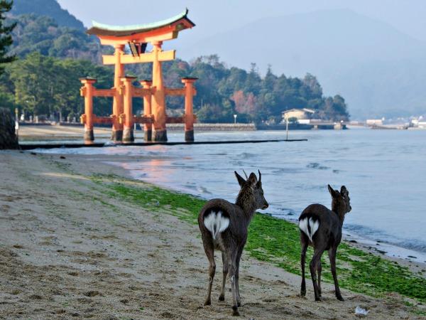 Tamme hertjes bij de Torii gate van Miyajima