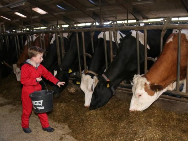 Koeien voeren op de boerderij