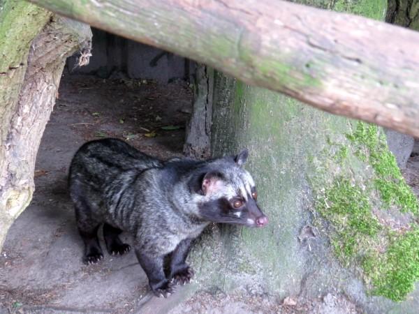 De bijzondere Loewak bij Taman Indonesia
