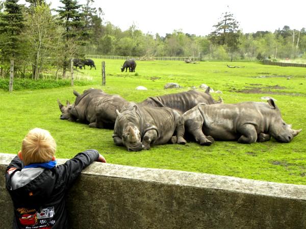 Naar de neushoorns kijken in Givskud Zoo