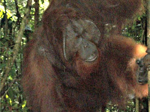 Een Orang Oetan van wel heel dichtbij in Seminggoh rehabilitatie centrum