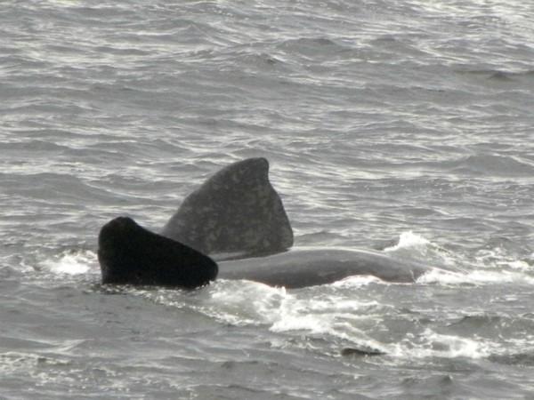 Relaxende walvis voor de kust bij Hermanus