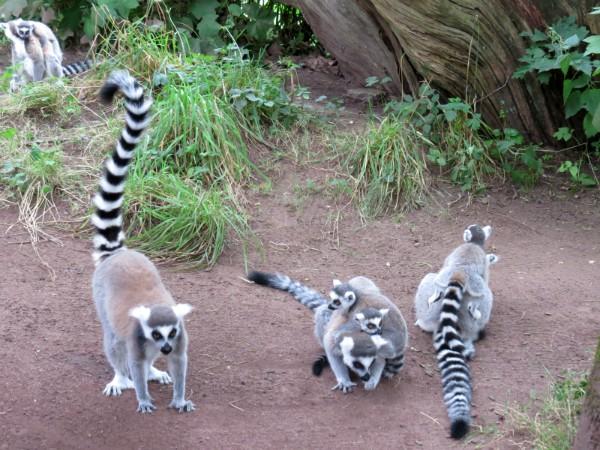 Ringstaartmaki's ga je zeker in het wild zien op Madagascar