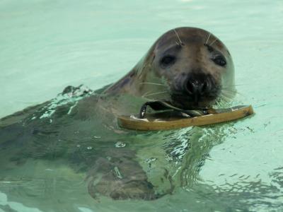 Een zeehond in Ecomare heeft een slipper te pakken