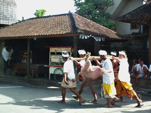 Een varken wordt vervoerd in Ubud