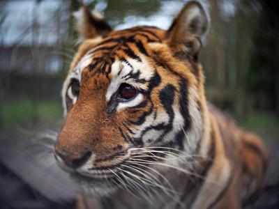 Myra, de tijger