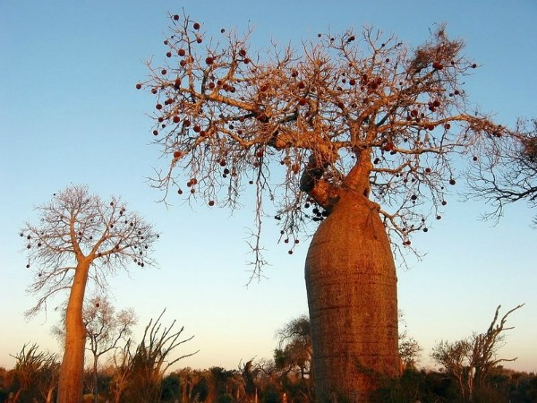 Prachtige baobab bomen in Madagascar