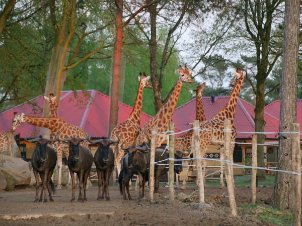 Lodges aan de savanne in Safari Resort Beekse Bergen