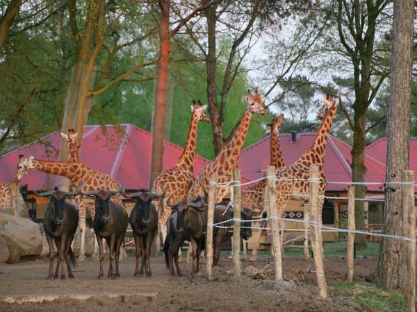 lodges aan de savanne in Safari Resort Beekse Bergen met giraffen