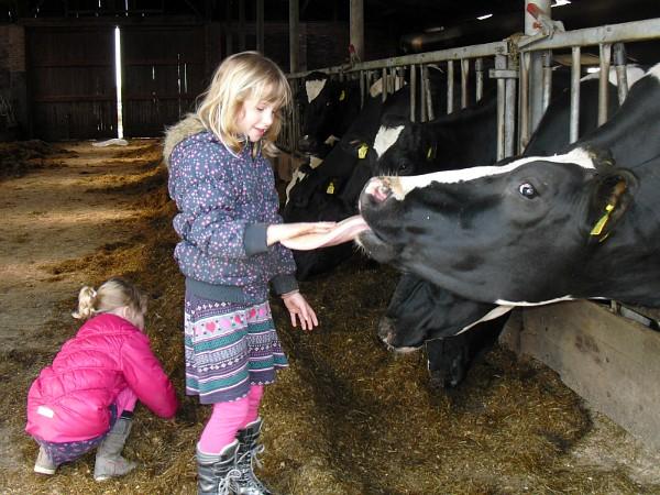 Kindje voert de koe
