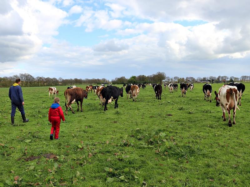 Elke dag met de boer mee de koeien uit de wei halen bij Farm Camps Hoeve Sonneclaer