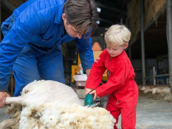 Helpen met schapen scheren bij FarmCamps Mariekerke