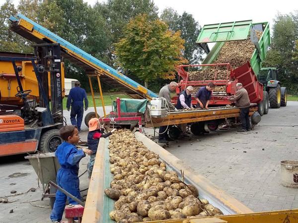 Helpen met aardappelen oogsten