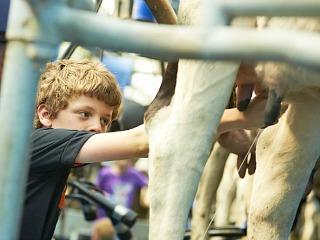 Hoeve Sonneclaer koe melken