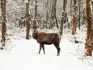 Een hert in de winter in de Oostvaardersplassen