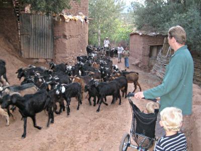 We komen een kudde geiten tegen in het Berber dorpje