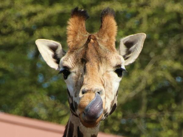 Safari Resort Beekse Bergen giraf met tong in zijn neus