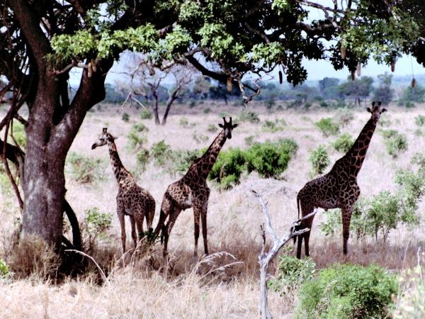Giraffen in Mikumi National Park