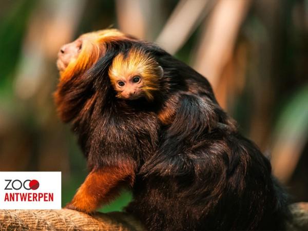 Goudkopleeuwaapje met jong in Antwerpen Zoo