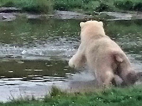Duikende ijsbeer in Skandinavisk Dyrepark