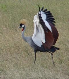 Prachtige kraanvogel bij Lake Naivasha