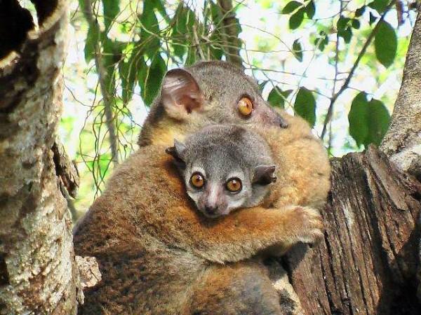 Bruine lemuren in Madagascar