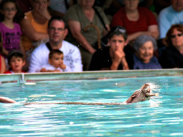 Otter-show in Parc Reintroduction Hunawihr