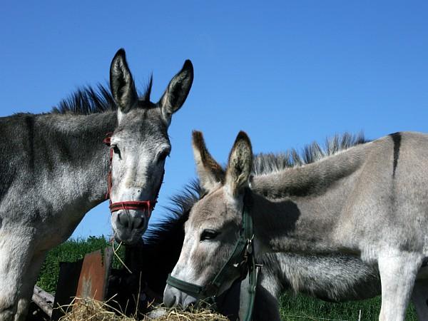 De lieve ezels van Puur Terschelling, waar je ook mee kunt wandelen