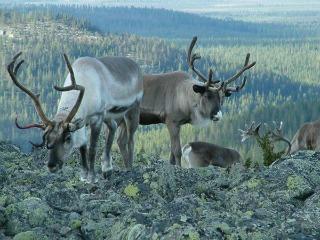 Rendieren in Noord-Zweden
