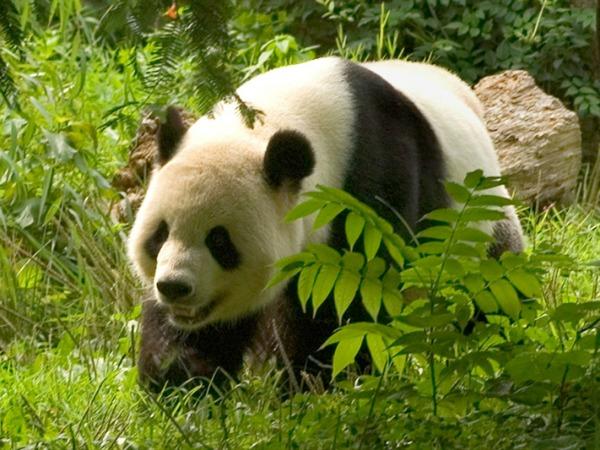 Reuzenpanda in het pandareservaat van Chengdu