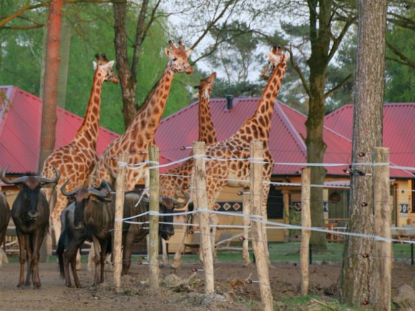 Giraffen in je achtertuin bij het Safari Resort