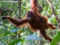 Orang Utan op Sumatra