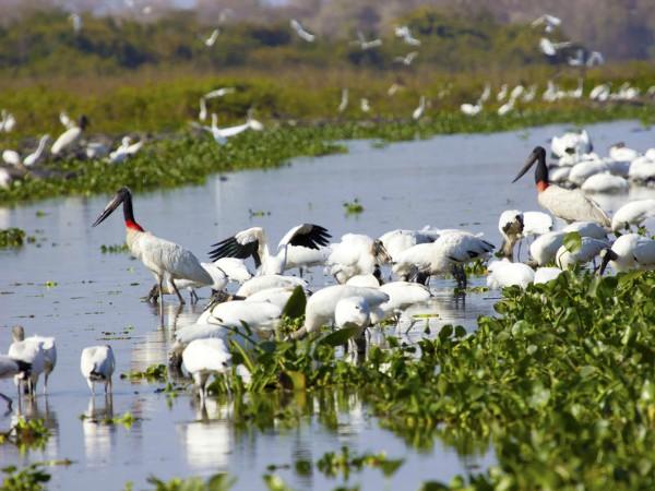 Jabiru vogels in de Pantanal