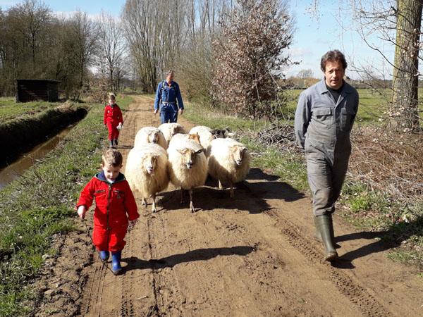Schapendrijven met de herder