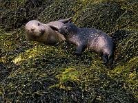 Zeehonden aan de Schotse kust