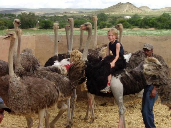Struisvogel rijden bij Oudtshoorn