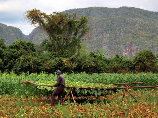 Tabaksplantage in de Vinales Vallei