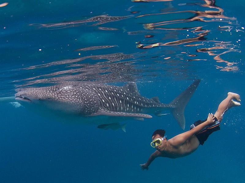 Snorkelen met een walvishaai