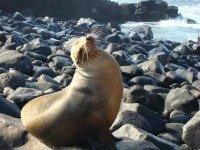 Zeeleeuw op de Galapagos eilanden