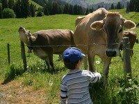 Ontmoeting met een koe in de Franse Alpen