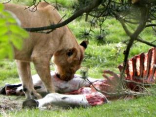 Een leeuw verorbert een snack in Givskud Zoo