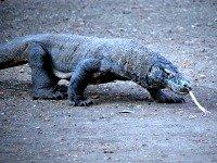 Een Komodo varaan