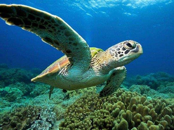 Zwemmende schildpad bij Apo Island, Filipijnen.