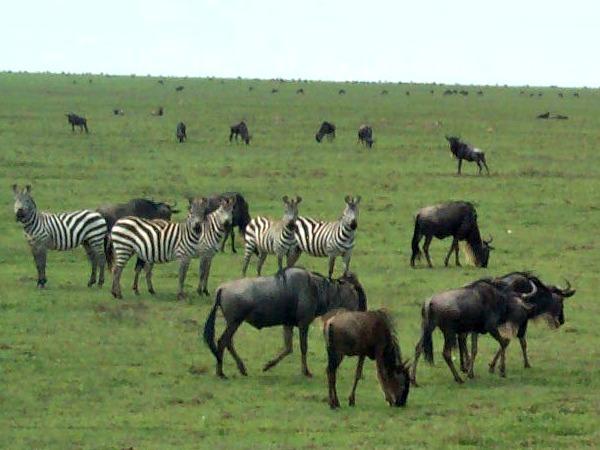 Zebra's en gnoes op de oneindige vlaktes van de Serengeti