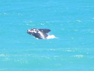 Een walvis voor de kust van De Hoop