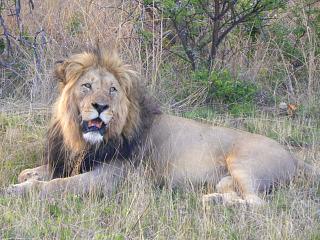 Een leeuw in Entabeni Wildpark