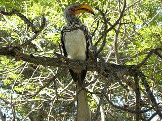 Neushoornvogel in Marakele