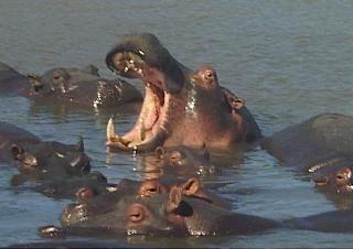 Nijlpaarden bij St Lucia